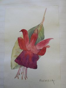 Painting of Fuchsia flower from diary of W F Harvey.