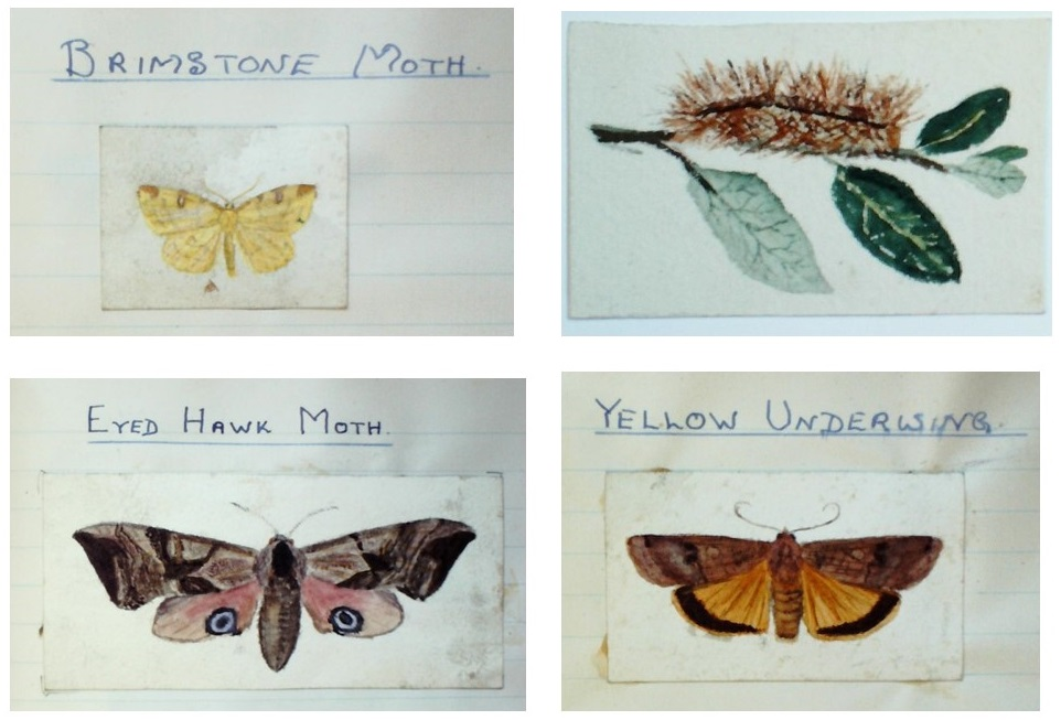 Selection of moth and caterpillar paintings by C J Alexander